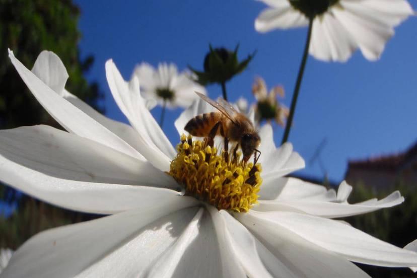 蜜蜂的消亡